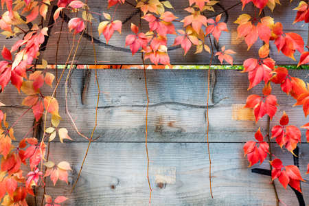 Plant on wood fence in autumn. Autumn background