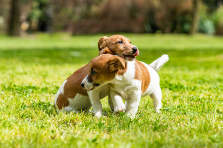 Two Jack Russell terriers playing. Two wonderful jack russell puppies Stok Fotoğraf