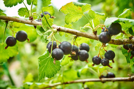 Black currant on the branch. Bush with black currants Stock Photo