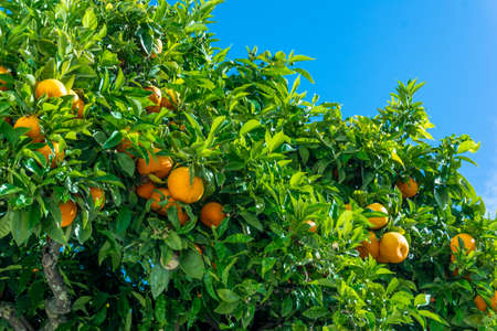 Mandarin tree with ripe fruits. orange tree. Ripen clementines on trees in a citrus cultivation