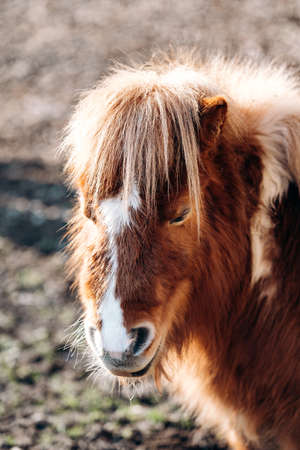 Shetland Pony grazing on a green meadow. Ponies walk on a green glade. A pony with a big mane.