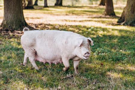 Sau posiert für die Kamera auf der grünen Graswiese ländlicher Tierfarm Standard-Bild