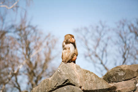 Hamadryads Baboons sit in the mountains.