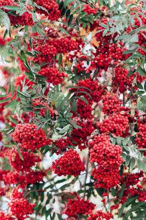 Rowan on the branches close-up view. Rowan on the branches in the garden. Close-up view.