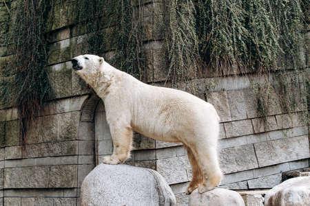 Polar bear in a zoo. The great white bear.