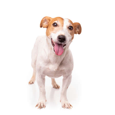 Jack Russell Terrier, isolated on white background at studio Banco de Imagens