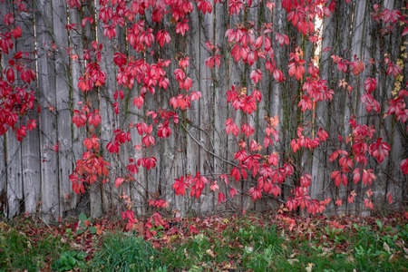 Bright red leaves of wild grapes ivy on rustic wooden background. autumn season. background texture of leaves of wild grapes
