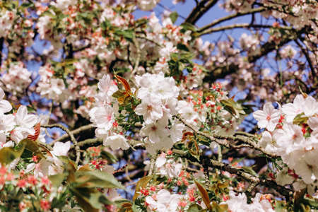 apple blossoms in spring on the sky background. Beautiful Apple blossoms.