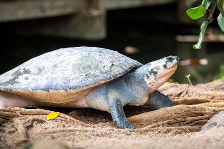Big turtle. Adult female flatback sea turtle