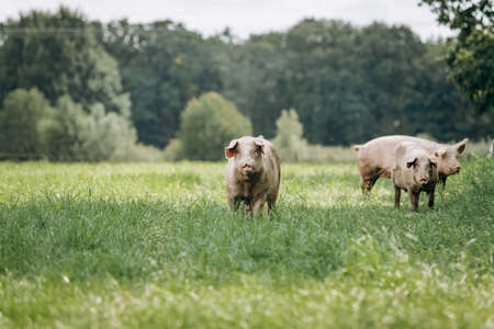 Pigs graze on farm in countryside. Pigs graze on a private farm