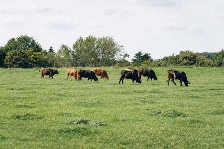 Group of cows grazing on a green meadow. Cows graze on the farm