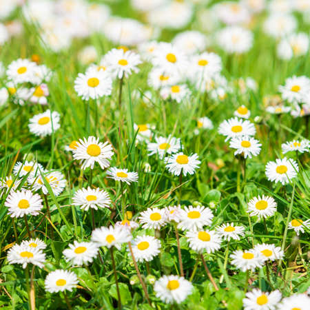 Daisy flower on green meadow. White Daisies