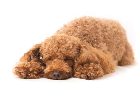 Apricot poodle, isolated on a white background. Small  dog sleeping