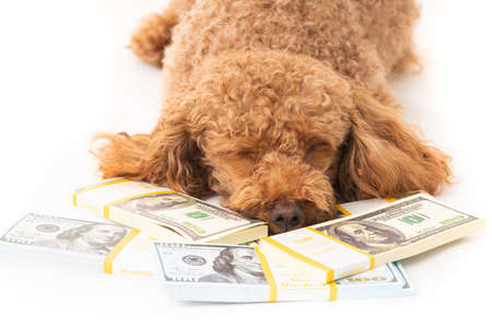 Apricot poodle with moey dollar bills  isolated on a white background 版權商用圖片