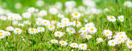 Spring Daisy. Beautiful meadow. Summer background 版權商用圖片
