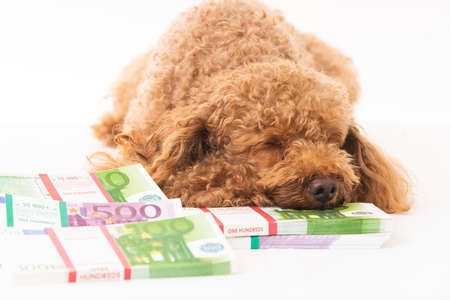 Little dog and money. money different banknotes with poodle dog