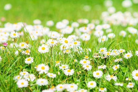 Spring Daisy. Beautiful meadow. Summer background Standard-Bild