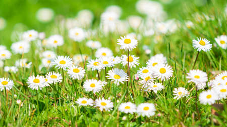 Spring Daisy. Beautiful meadow. Summer background 免版税图像