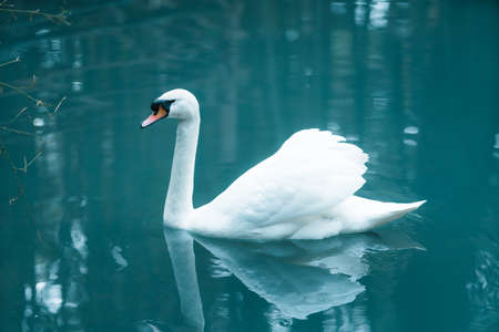 A beautiful white swan floating in the sea. 免版税图像