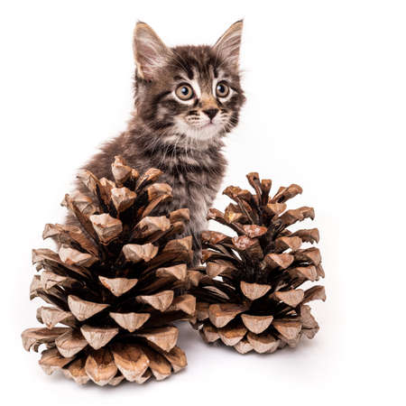 kitten with pine cones isolated on white