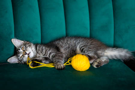 kitten plays with a ball of thread