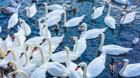 Beautiful swans swim on a lake in winter 免版税图像