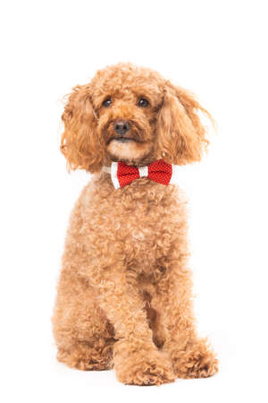 Red poodle isolated on white background 免版税图像