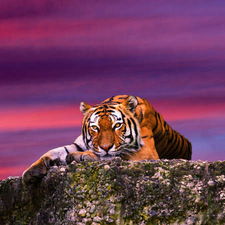 Tiger portrait on the rock with beautiful sky at sunset time