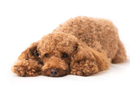 Small Apricot Poodle Isolated On White Background 免版税图像