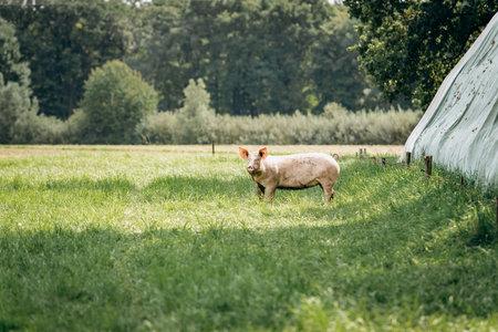 Pigs graze on farm in countryside. Pigs graze on a private farm 免版税图像 - 161235348