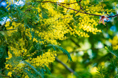 Blossoming of mimosa tree. yellow flowers in blooming 免版税图像 - 161235409