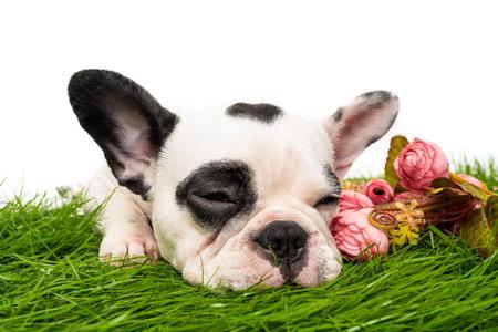 french bulldog dog sleeping isolated on white background 免版税图像