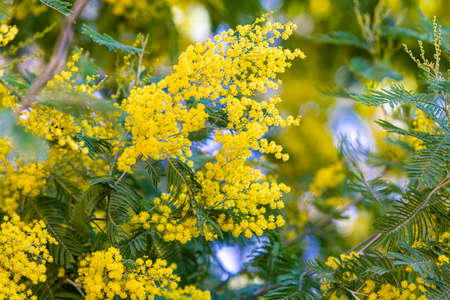 Blossoming of mimosa tree. yellow flowers in blooming