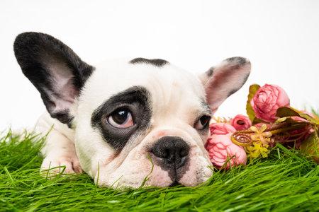 French bulldog puppy portrait isolated on white 免版税图像 - 161235512