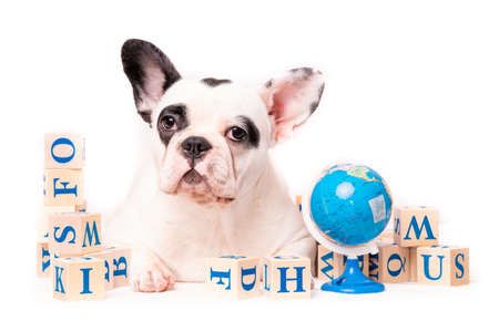 French bulldog puppy portrait isolated on white