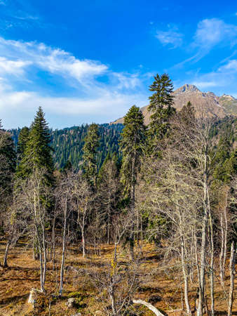 Coniferous pine tree and mountain landscape
