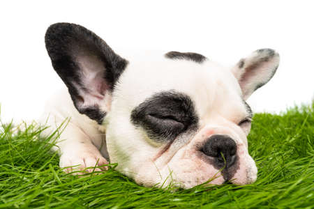 French bulldog puppy portrait isolated on white 免版税图像 - 161235615