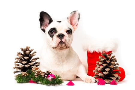 puppy christmas French Bulldog isolared on white