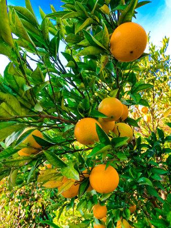Orange fruits on tree. Cultivating, fruit.
