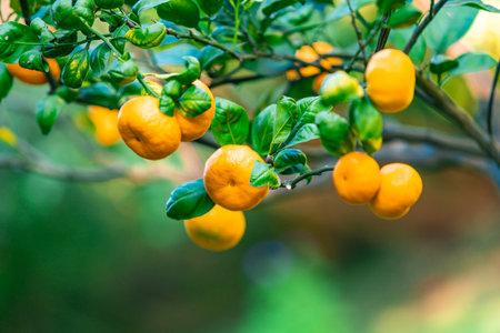 Closeup of ripe mandarins on tree