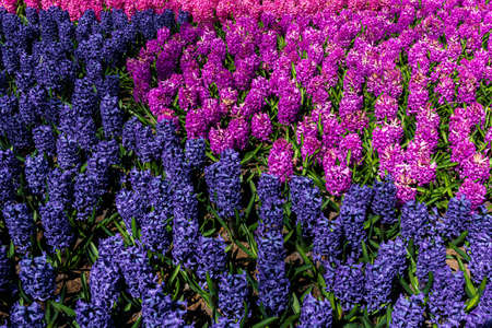 hyacinth flowers close-up in the garden 免版税图像