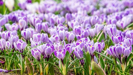 Crocus Field. crocus flowering in the early spring garden. 免版税图像