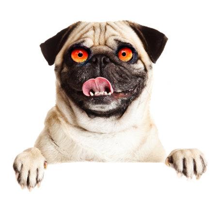 Crazy dog with big eyes
