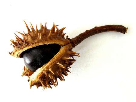 conker: chestnut