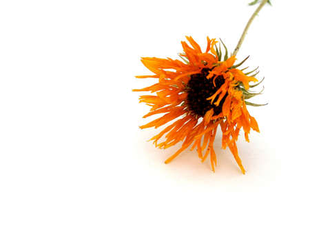 fading: fading flower