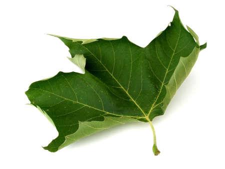 プラタナス: プラタナスの葉