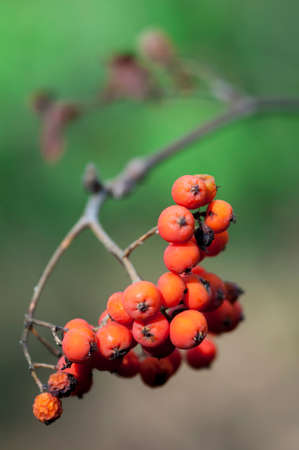 eberesche: Rote Vogelbeere