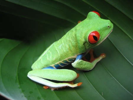 Costa Rican Red-Eyed Tree Frog photo