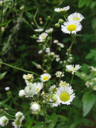 White wild flowers in Georgia Stock Photo
