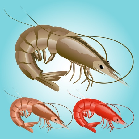 Shrimp Illustration Illustration